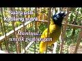 Suara Asli Kutilang Sutra Cocok Untuk Pancingan  Mp3 - Mp4 Download