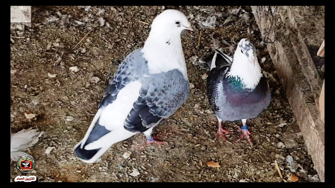 حمام زاجل ازرق و ابيض اكتاف الله يبارك Saddle Racing Pigeons Youtube