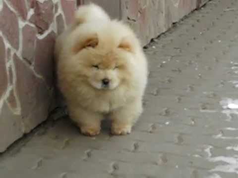 3months old cream chowchow male youtube