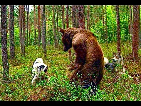 Brownbear Hunting And The Sami Traditions And Mythology..www.wildlifefilm.com