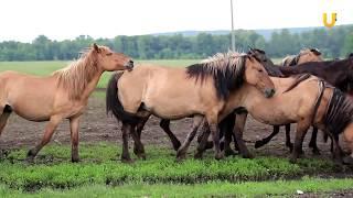 Глазами животных #289. Уфимский конный завод и башкирская порода лошадей