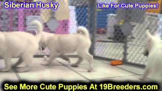 Siberian Husky, Puppies, For, Sale, In, Boise City, Idaho, ID, Rexburg, Post Falls, Lewiston, Twin F