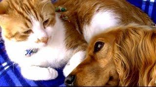 犬の看病に疲れた猫 今度は犬が猫を優しく見守る 猫と犬の愛情物語  Cat and Dog Friendship. A heart Touching Story. thumbnail