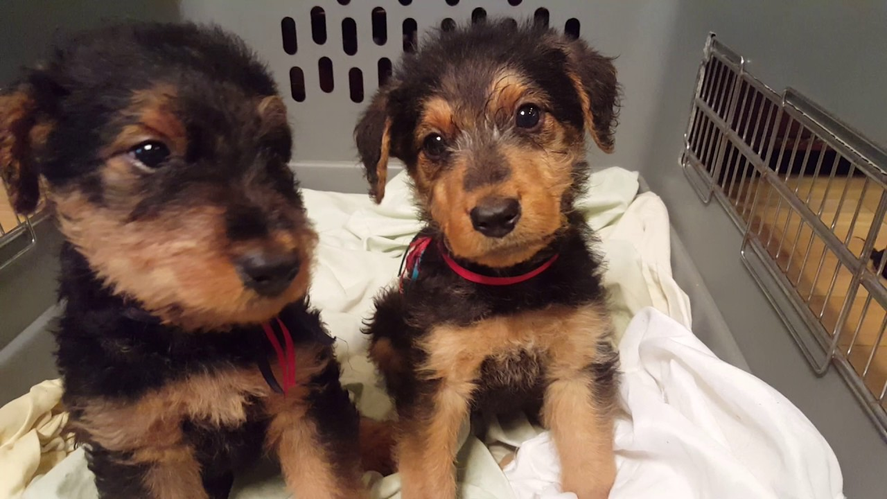 airedale terrier breeders airedale terrier puppies for sale video s s family 971