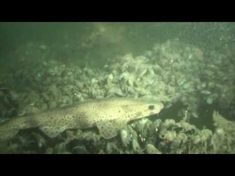 Diving the Goodwin Sands off Deal, Kent | Stop the Dredge