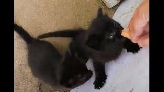 Yavru Kediler yemekten sonra Çıldırdı. Sevimli hayvanlar
