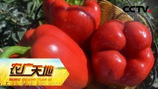 《农广天地》 20190507 亩产三万斤的甜椒咋种的| CCTV农业