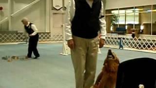 Obedience Utility Class Golden Retriever