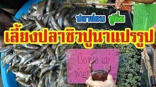 การเลี้ยงปลาซิว ปูนา | แปรรูป ราคาเพิ่มเท่าตัว |
