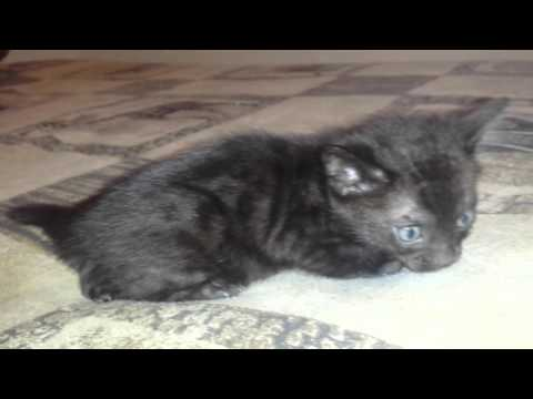 Three melanistic Bengal kittens and one regularly spotted kitten ...