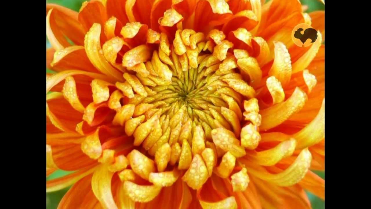 Сад и огород-87 Любимые цветы - Хризантемы