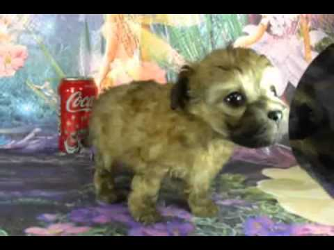 Jesse is a BeBe puppy from Bolognese of Phoenix Kennel
