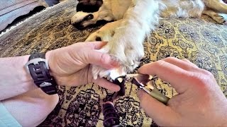 Trimming A Saint Bernard Dog Nails Using Guillotine Cutter & A Flashlight - How To