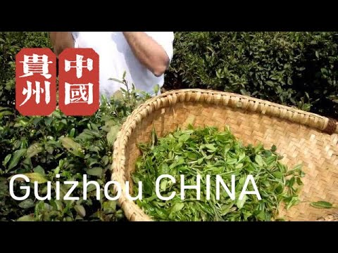 Tea travel to Guizhou 2014