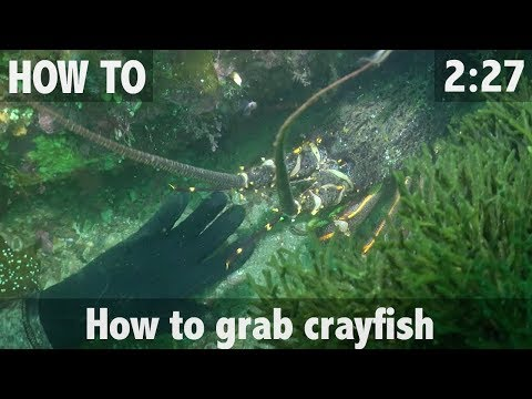 How To Grab Crayfish (Rock Lobster)