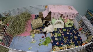 I Need HOW Big? Guinea Pig Cage Sizes