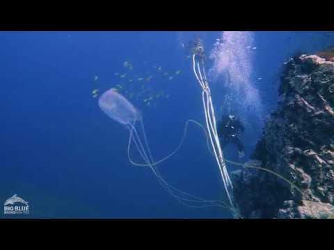 The Box Jellyfish Or Sea Wasp.