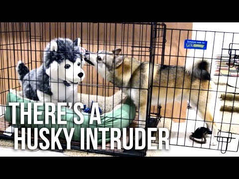 Kobi the Alaskan Klee Kai and the Husky Toy