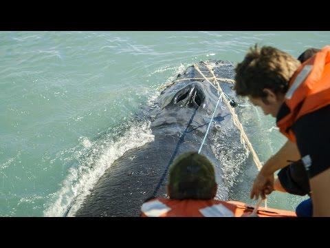 Sea Shepherd Crew Save Humpback Whale Entangled in Illegal Gillnet