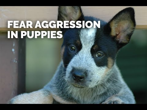 Fear Aggression In Young Dogs - Part 1