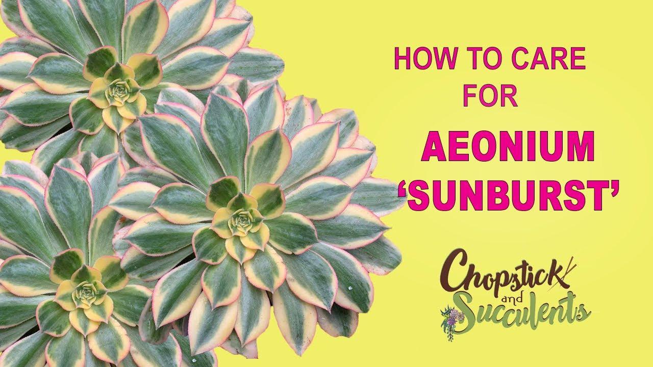 How To Care For Aeonium Sunburst Succulent Care Tips Youtube