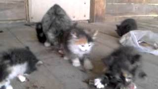 Котята едят рыбу