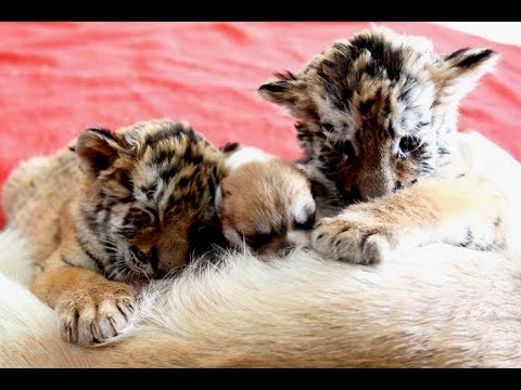 Adorable tiger twins play with puppies at Hangzhou zoo