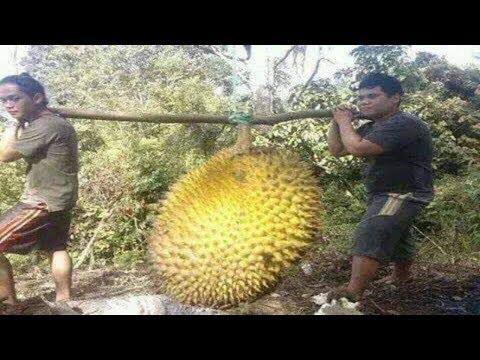 Temukan DURIAN RAKSASA di hutan, Saat dibelah isinya sungguh Mengejutkan !! WOW..