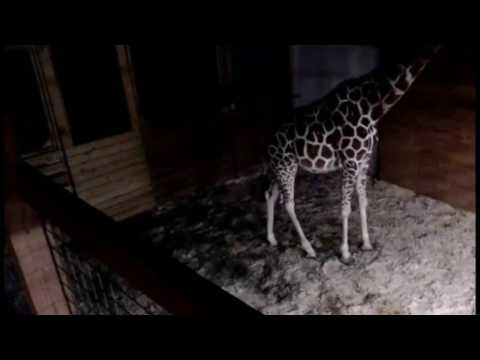 Thumbnail: Watch LIVE video of a giraffe giving birth at 'Animal Adventure Park'