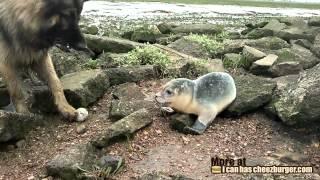 Cheezburger : Dog Meets Seal