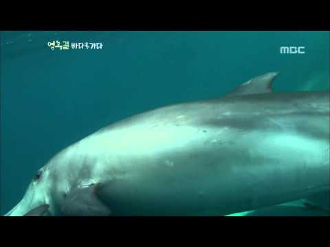 Indo-Pacific bottlenose dolphin - Um Hong Gil Goes to Sea, #04, 제주 남방큰돌고래