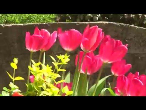 Pécs - virágok - tavasz - Hungary - flowers - TV Tower   HD video