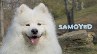 Samoyed Dog Breed Information 101