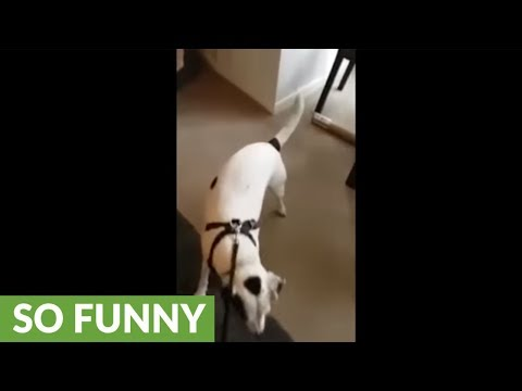 Dog takes safety precautions to the next level