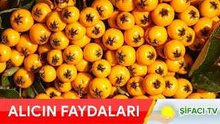 Alıç Meyvesinin Faydaları Bu Videoda! İlaç niyetine bol bol tüketin!
