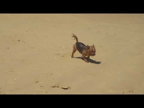 Silky Terrier Charlie goes for a swim!