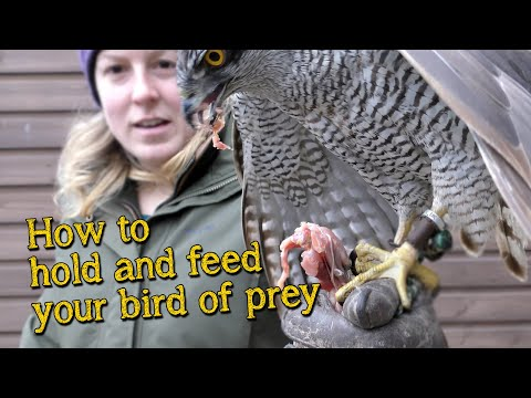 Falconry Basics | How To Handle And Feed Your Bird Of Prey