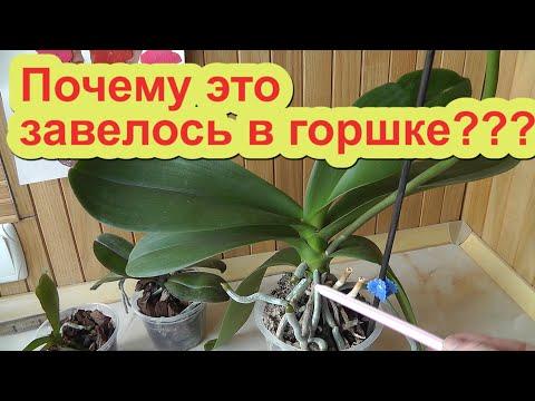 почему орхидеи гниют и заводятся насекомые Когда заводятся насекомые на орхидее