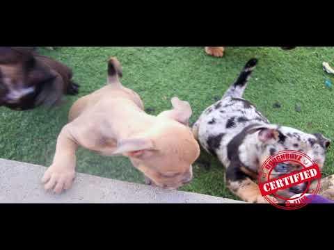 Exotic Bully Puppies - CDB Bullies (Las Vegas)