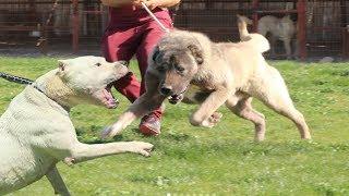 KANGAL mı ? DOGO ARGENTİNO mu ? ( Büyük Karşılaşma, Sizce Hangisi ? ) Strongest dogs, Biggest Dogs