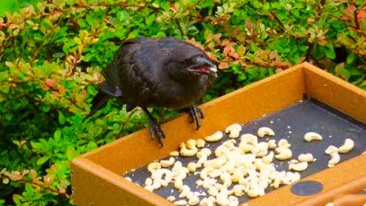 Աղջիկը տարիներ շարունակ կերակրում եր  այս ագռավին  և թե ոնց  ագռավները շնորհակալություն հայտնեցին դուք կափշեք
