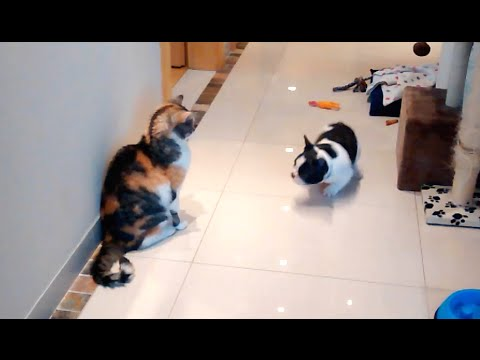 Cat is a Master at Ignoring Excited Puppy (Pixel & Czika)