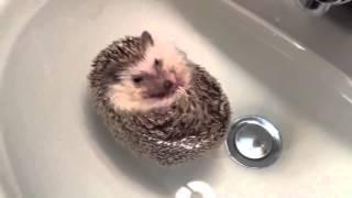 Ёжик купается в ванной