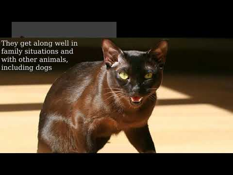 Havana Brown Cat: medium in size, muscular, firm