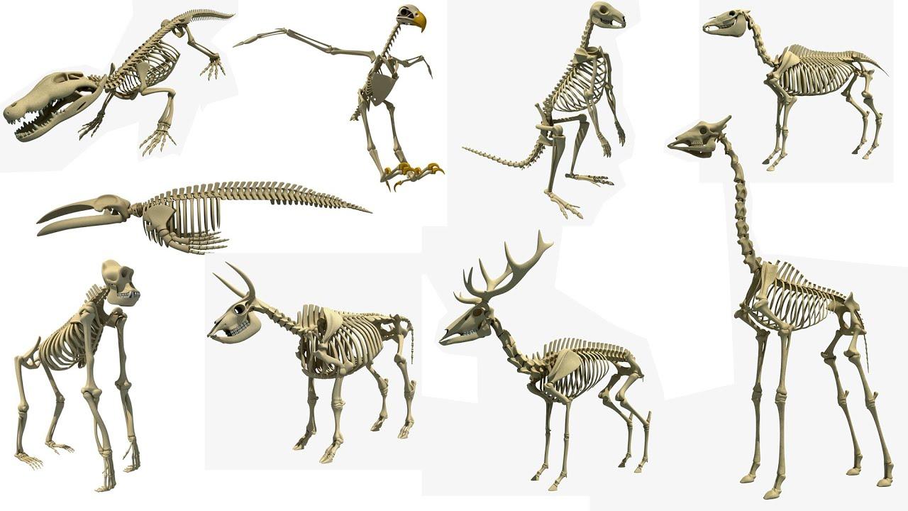 Animal Skeleton 3d Models Youtube