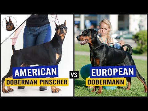 American Doberman Pinscher VS European Doberman [2018]