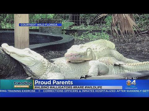 Eric Hunter - Albino Alligators Will Soon Be Proud Parents