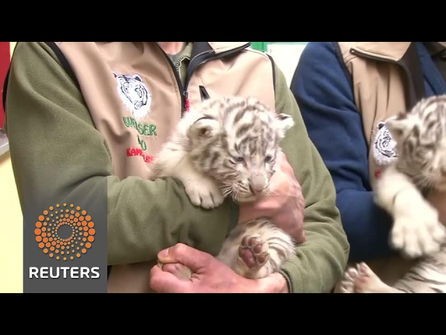 White tiger cubs born in Austrian zoo