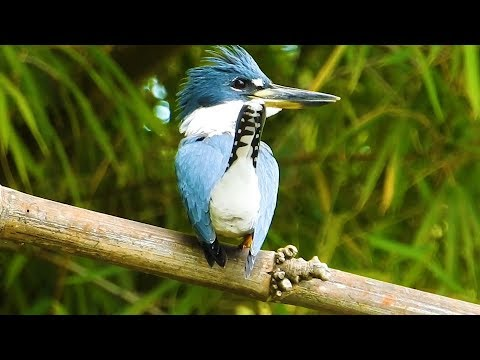Ringed Kingfisher uncomfortable with the presence of the cameraman,  Megaceryle torquata,
