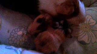 Newborn Guinea Pigs hours old!!!